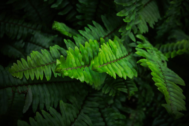 Fern, beautiful green fern leaves. fern bush. night, vintage style Green Color Growth Leaf Plant Part Plant Fern Close-up Nature Beauty In Nature No People Day Outdoors Green Fern Green Ferns Green Fern Plant Green Fern Leaves Fern Leaves Fern Leaf Fern Plant Fern Tree Fern Frond Nature Natural Green Nature Green Natural Fern Background Botanical Garden Botany Branch Decorative Environment Flora Floral Pattern Greenery Green Growth Isolated Rustic Plant Tree Vintage Vintage Nature Focus On Foreground Natural Pattern Selective Focus Tranquility Leaves Fragility Coniferous Tree