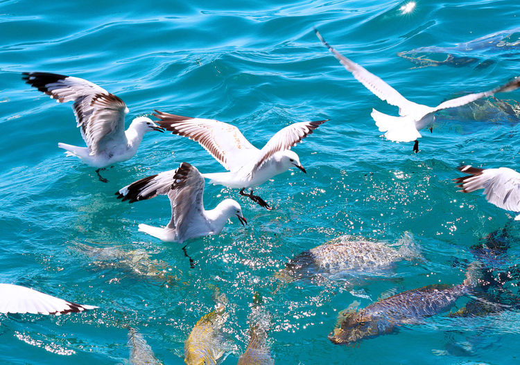 High angle view of seagulls over sea chasing fish