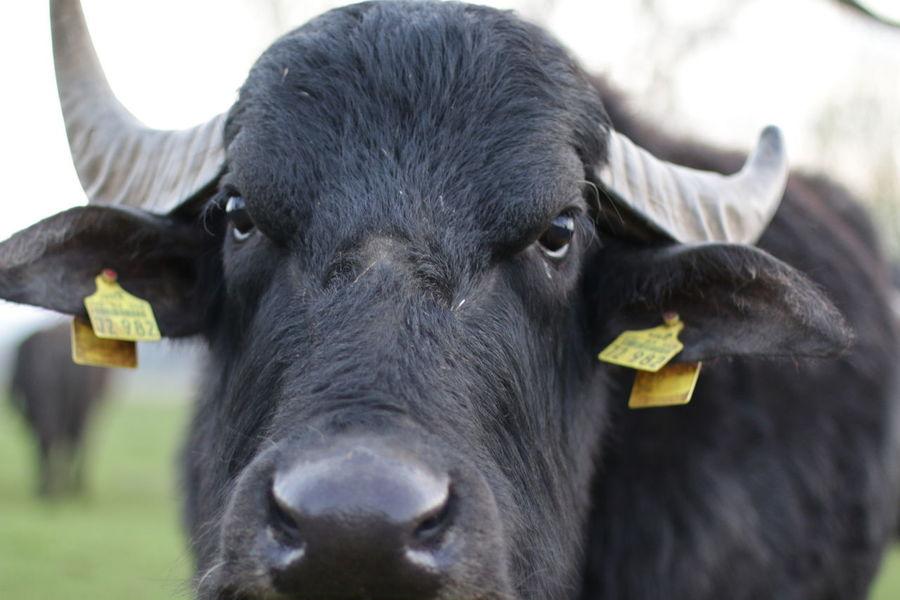 Animals Büffel Nature Outdoor Outdoors Tiere Vörie Wasserbüffel