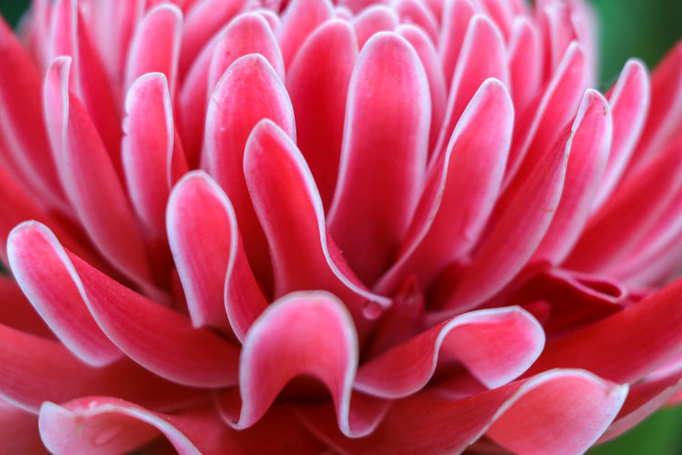 Flower Head Flower Petal Red Pink Color Biology Close-up Plant