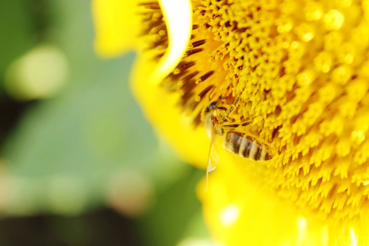 flower, yellow, close-up, fragility, beauty in nature, nature, no people, freshness, petal, focus on foreground, flower head, insect, outdoors, day, plant, growth, sunflower, animal themes