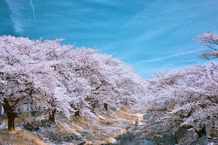 IR_Cherry Blossoms Infrared Infrared Color Infrared Photography Ir Photography Ireland Landscape Outdoors Tree
