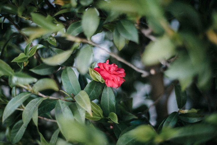 Plant Flower Freshness Growth Beauty In Nature Flowering Plant Plant Part No People Flower Head Inflorescence Fragility Close-up Red Green Color Outdoors Petal Leaf Vulnerability  Nature Day