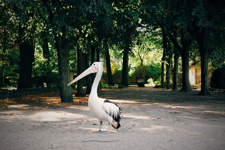 Pelican perching on field against trees at zoo