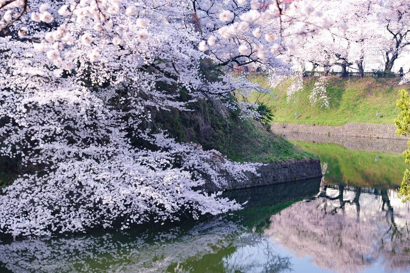 野に咲く花のように🎶 Nikon D700 Nikon 桜 千鳥ヶ淵 Cherry Blossoms Plant Tree Growth Water Nature Day Beauty In Nature