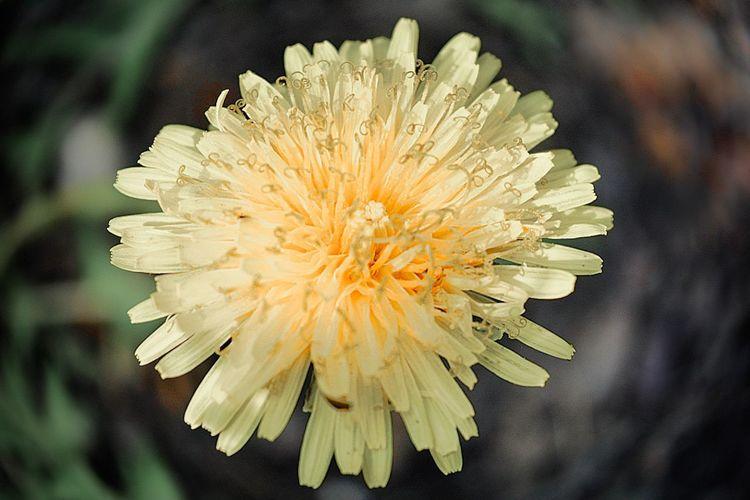 Yellow dandelions Flower Head Close-up Springtime Pollen Yellow Nature Flower Petal Beauty In Nature Macro Yellow Flower Macro Photography Macro Beauty Macro_flower Macro Dandelion Yellow Dandellion Ye