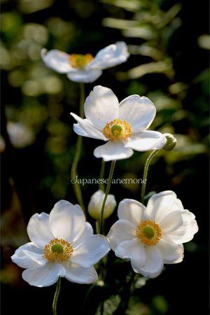 Enjoying Life 秋 Mygarden Nikon D5200 EyeEm 2015 庭に咲く花 Flower In My Garden... 秋明菊 毎年 この花が咲くのを楽しみにしています。 朝夕が肌寒く感じる秋が一番✨好きな季節♡