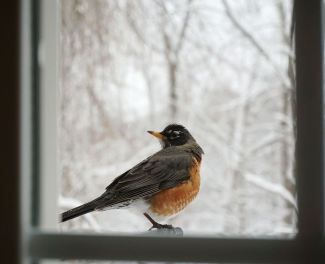Robin at the window. Robin Bird Window Winter