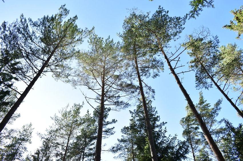 Sky Tall Trees Blue Sky Tree Crowns
