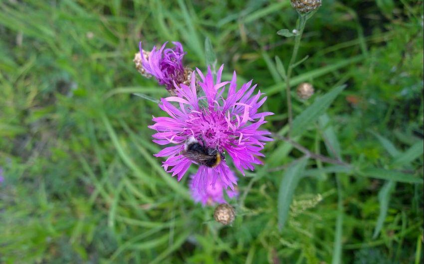 Шмель цветок  Лето2015
