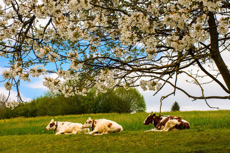 Cows sitting on grassy field against tree
