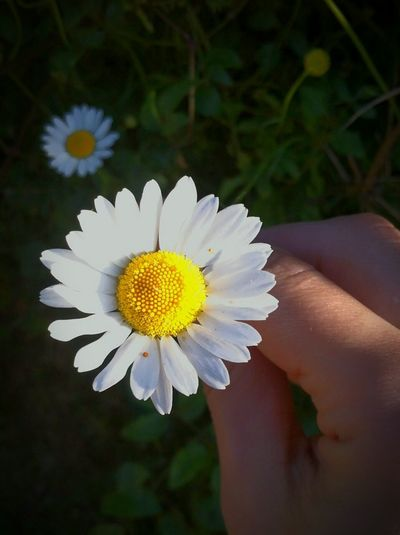 Flower Human Body Part Human Hand Close-up Outdoors Nature Petal Flower HeadMargarita🍸🍻 Fragility Day Summer Plant Closing Margaritas🌻 Beauty In Nature Beauty People Freshness One Person Adult Young Adult Pollen Polen EyeEmNewHere