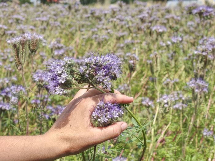 Farmer woman check phacelia tanacetifolia blossom. phacelia is known as blue tansy or purple tansy
