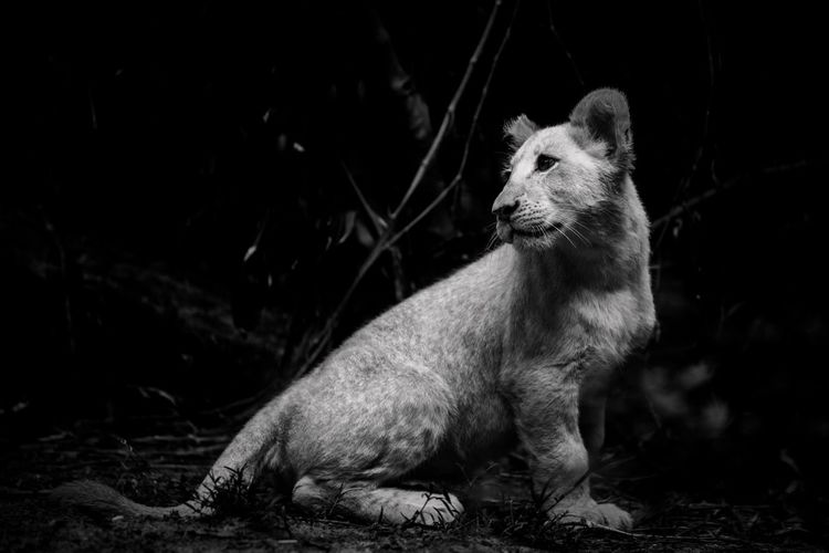 Lion cubs black and white