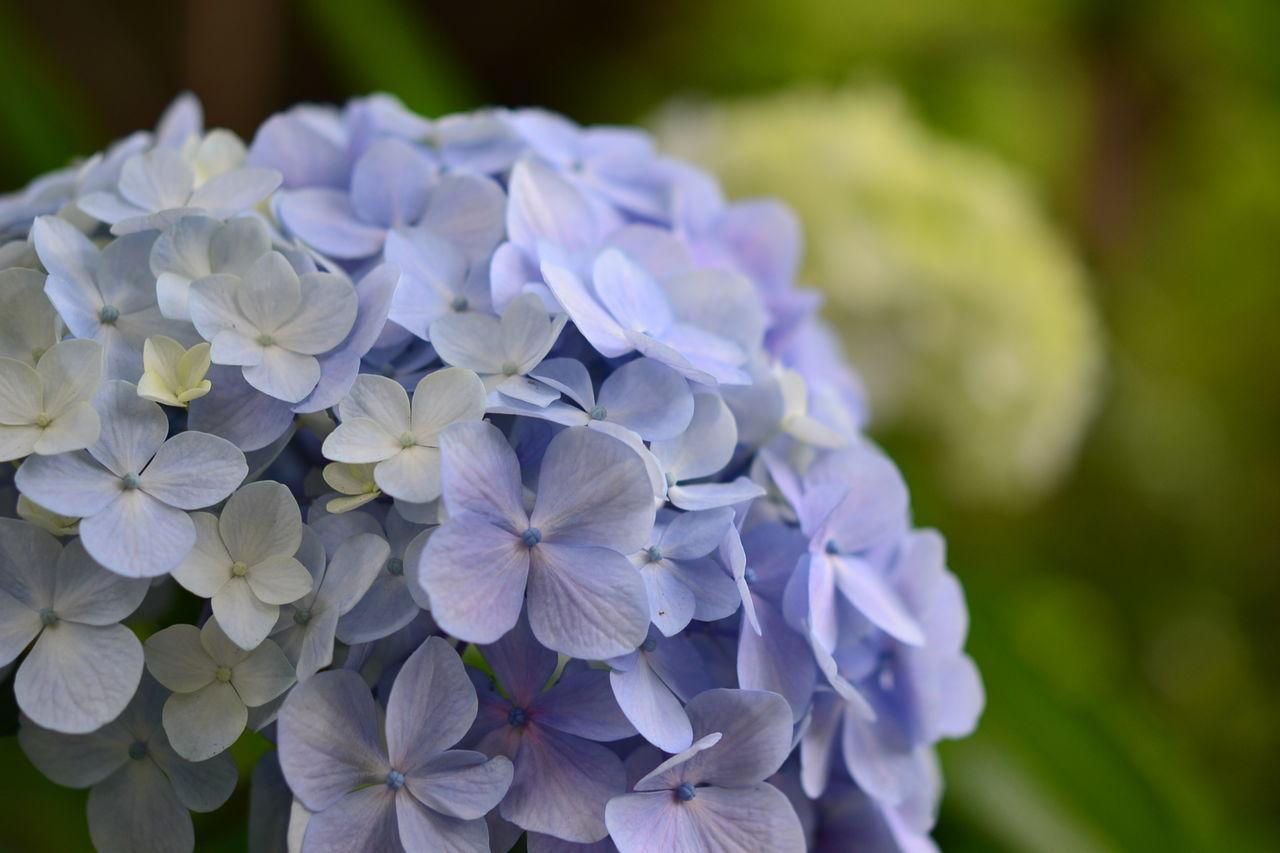 Close-Up Of Purple Hydrangea Growing On Field