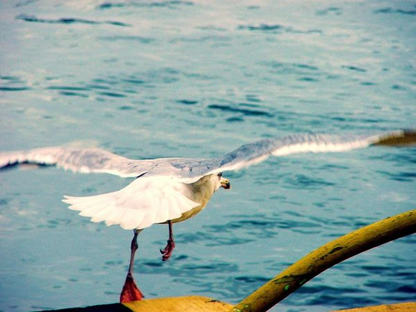 3...2...1...Go! Bird Animal Themes Animals In The Wild Nature Water Spread Wings No People Animal Wildlife Sea Outdoors Beauty In Nature Day Seagull Start Startup EyeEm Nature Lover Perspectives On Nature