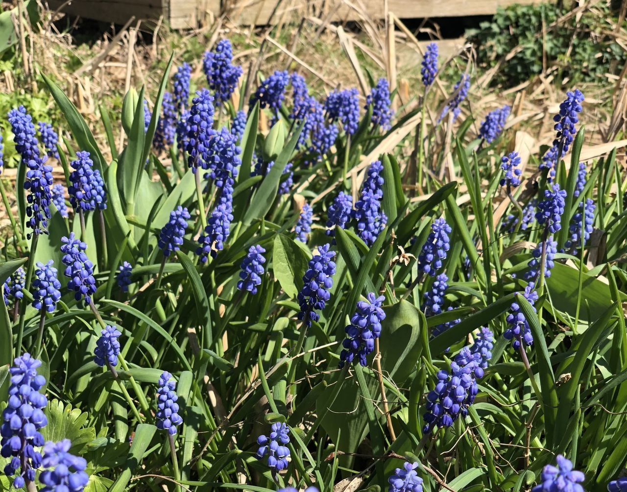 CLOSE-UP OF BLUE LAVENDER FLOWERS IN FIELD