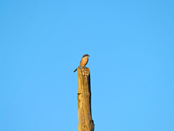 Animal Themes Animal Wildlife Animals In The Wild Bird Birds Blue Clear Sky Day Environment Laniidae Lanius Lanius Excubitor Low Angle View Nature No People Northern Shrike One Animal Outdoors Perching Perching Bird Shrike Tree Wildlife Wood - Material