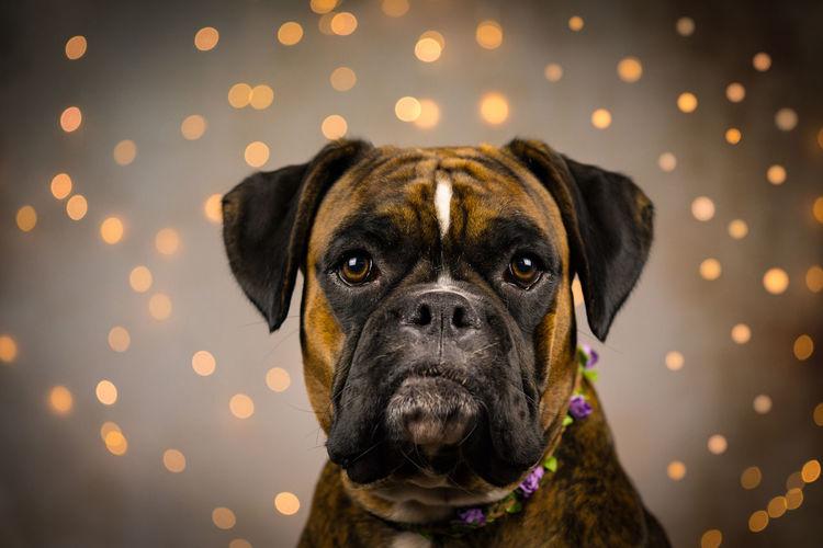 Portrait of dog against illuminated lights