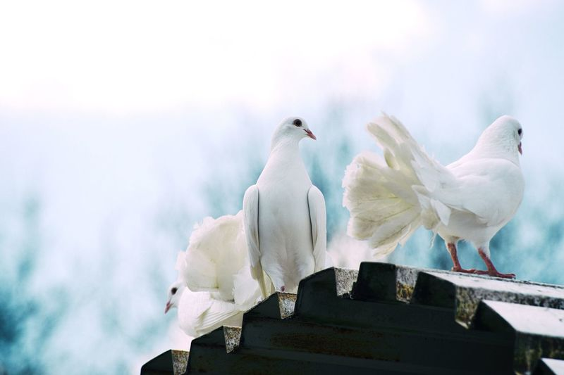 Doves Bird Dove White Pigeon Rooftop Free Spirituality Love Peace Birdtheme Nikon Nikonphotography Photographer Full Frame Nikond750