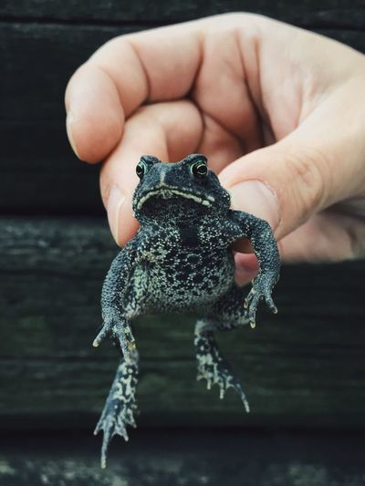 Amphibian Close-up Focus On Foreground Frog Human Finger Nature Toad Unrecognizable Person