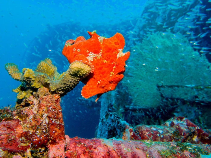 Frogfish Animal Animal Themes Animal Wildlife Animals In The Wild Coral Fish Nature No People One Animal Sea Sea Life UnderSea Underwater ปลากบ ใต้ทะเล ใต้น้ำ