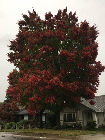 Fall Maple tree