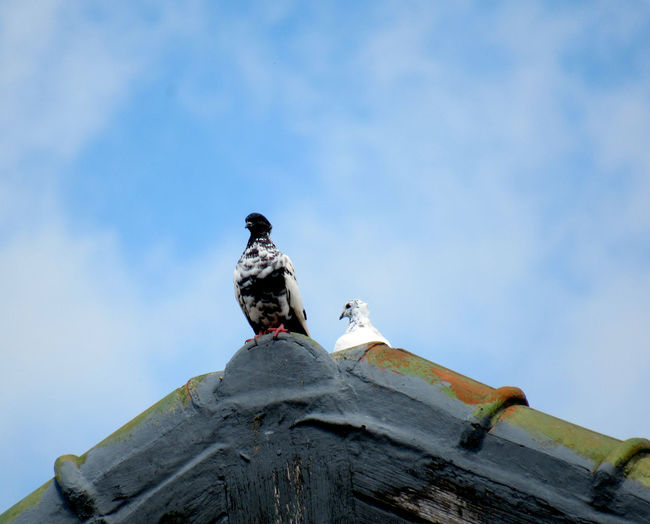 Low angle view of pigeon perching on roof