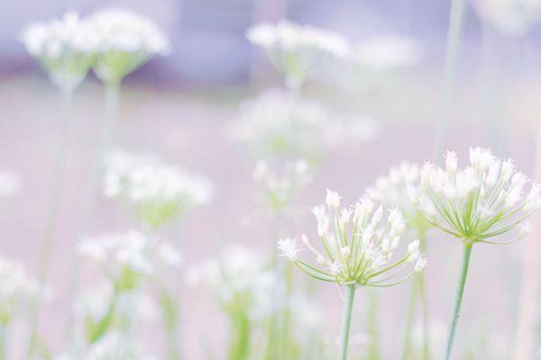 White reflection. Japanese  Canon70d Japan White Flowers Tamron Lens Fukui Instagram