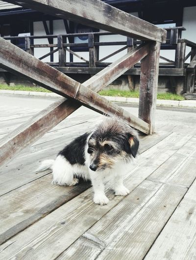 Lost puppy Domestic Animals Pets Bridge - Man Made Structure Animal Behavior Outdoors No People Footpath Animal Themes One Animal Dog Zoology Day Boardwalk Puppy Doglover Doggy Puppydog Lost Dog