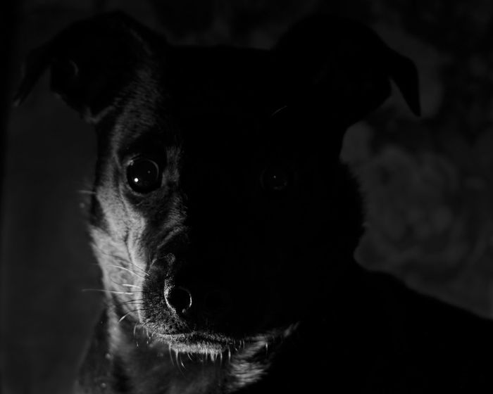 Alertness Animal Body Part Animal Eye Animal Head  Animal Themes Black Black Color Close-up Dog Domestic Animals Focus On Foreground Mammal Nature No People Pet Collar Pets Portrait Selective Focus Snout Whisker