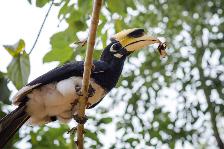 Hornbill Oriental Pied Hornbill Yellow Mouth Animal Animal Wildlife Animals In The Wild Bird Find Food Focus On Foreground Nature One Animal Perching Tree