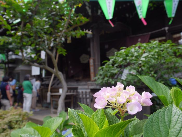 神社 参拝 お参り 紫陽花 お祭 Shrine Visit A Shrine Bigleaf Hydrangea Festival Japan