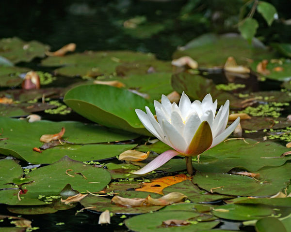 Beauty In Nature Close-up Day Floating Floating On Water Flower Flower Head Flowering Plant Fragility Freshness Growth Lake Leaf Leaves Lotus Water Lily No People Outdoors Petal Plant Plant Part Vulnerability  Water Water Lily