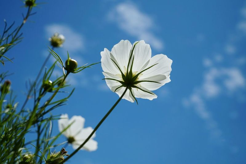 Low angle view of white flowers blooming against sky