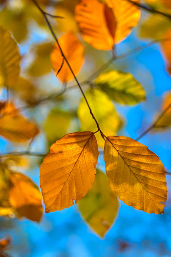 Low angle view of autumnal leaves