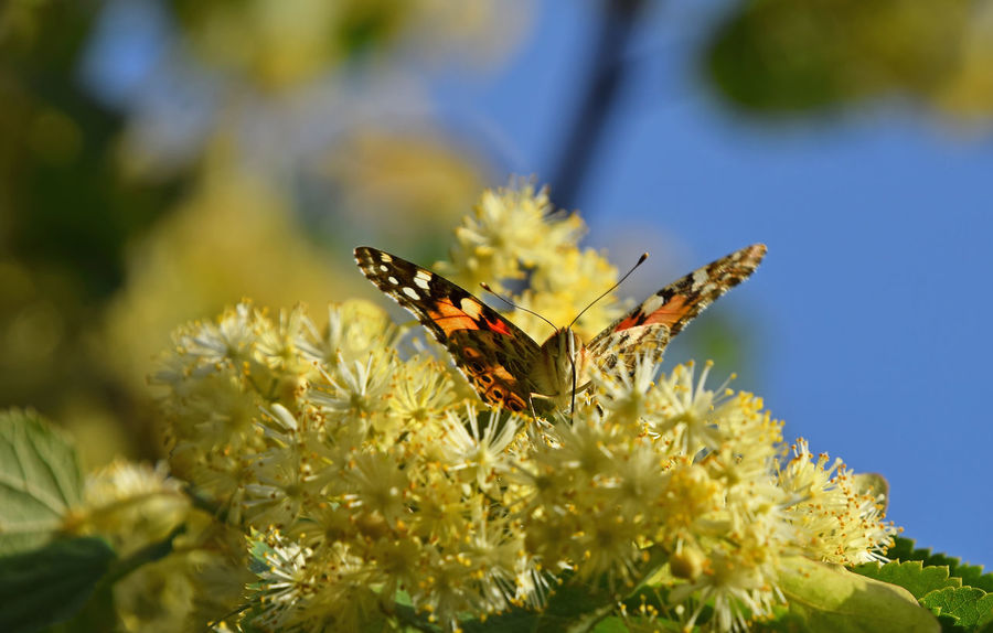 Colorful butterfly pollinating on yellow linden tree blossoms over blue sky Bloom Blooming Blossom Blue Sky Butterfly Close Up Close-up Flowers Honey Insect Insects  Lime Lime Tree Linden Linden Tree Moth Nature Pollination Season  Summer Summertime Wildlife Yellow Colour Of Life