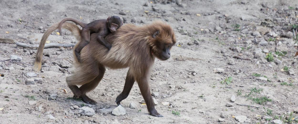 Monkeys on a field