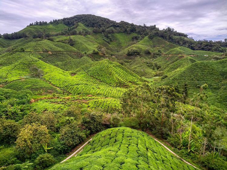Agriculture Beauty In Nature Cloud - Sky Environment Foliage Green Color Growth Land Landscape Lush Foliage Mountain Nature No People Outdoors Plant Plantation Rolling Landscape Scenics - Nature Sky Tea Crop Tranquil Scene Tranquility Tree