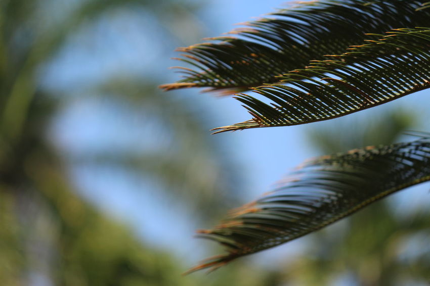 Palm Tree Close-up Focus On Foreground Freshness Leaf Nature No People Plant Tree