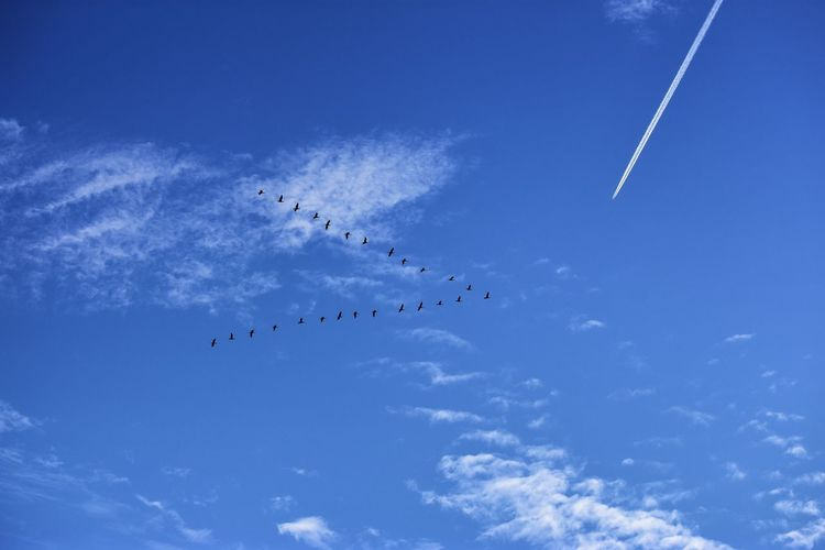 Cloud - Sky Sky Blue Group Of Animals Animal Animals In The Wild Animal Themes Animal Wildlife Vapor Trail Large Group Of Animals Flying Bird Flock Of Birds Nature Birds Birds In Flight Bird Formation Wild Goose  Goose Bird Migration Plane