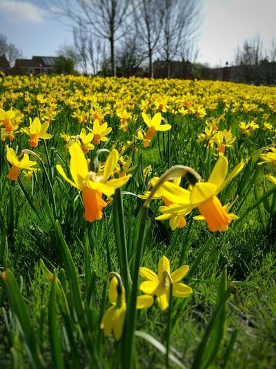 Flower Yellow Nature Beauty In Nature Fragility Petal Growth Daffodil Plant Flower Head Field Blossom Freshness Blooming Outdoors No People Grass Close-up Day Crocus