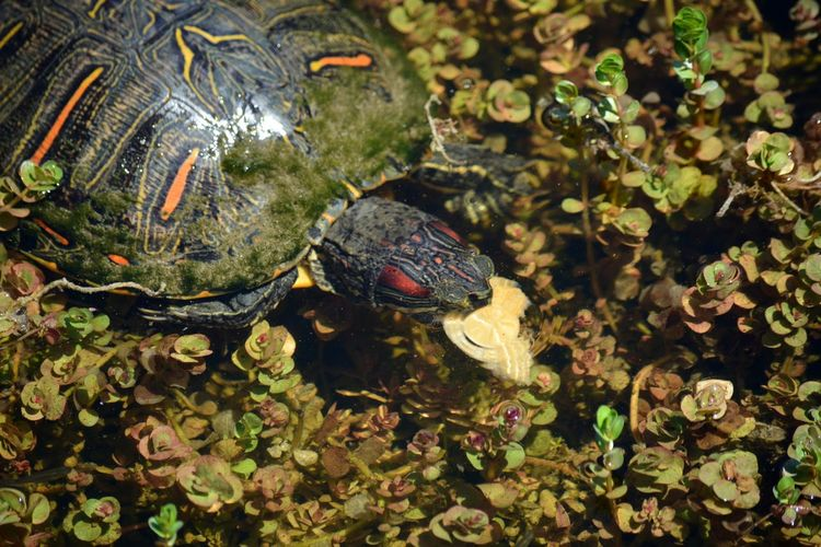 Red-eared slider turtle, Trachemys scripta elegans Terrapin Red Eared Terrapin Trachemys Scripta Elegans Red Eared Slider Red Eared Slider Turtle Florida Wildlife Animals In The Wild Underwater Water Leaf Close-up Turtle Animal Shell Amphibian