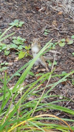 Chipmunk Chipmunk Photography Chipmunks  Chipmunk Close-up Wildlife Animal Photography EyeEm Nature Lover Eye4photography  Fontana, WI