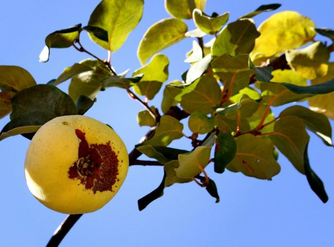 Quince Beauty In Nature Tree Low Angle View Fruit Close-up Nature Branch