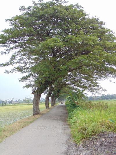 roadside pine