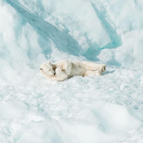 High angle view of animal resting on snow