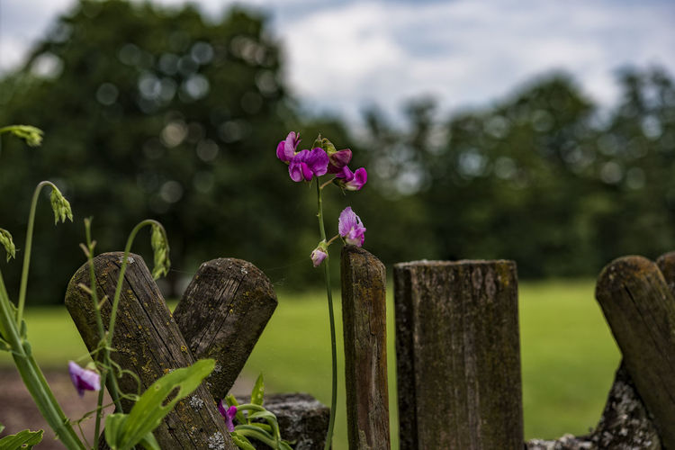 GardenFenceIdyll Beauty In Nature Blooming Botany Bud Close-up Day Flower Flower Head Focus On Foreground Fragility Freshness Garden Fence Growing Growth In Bloom Nature No People Outdoors Petal Pink Color Plant Purple Selective Focus Stem Tranquility