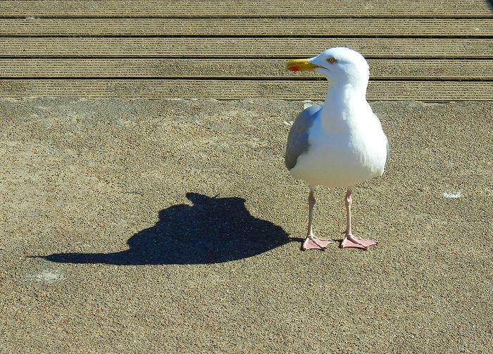 Shadow Sunlight Textured  Bird No People Animal Themes Outdoors Day Super Zoom Nikonphotography Blijdorp Rotterdam Blijdorp The Purist (no Edit, No Filter) Nature Animal Wildlife One Animal Seagull