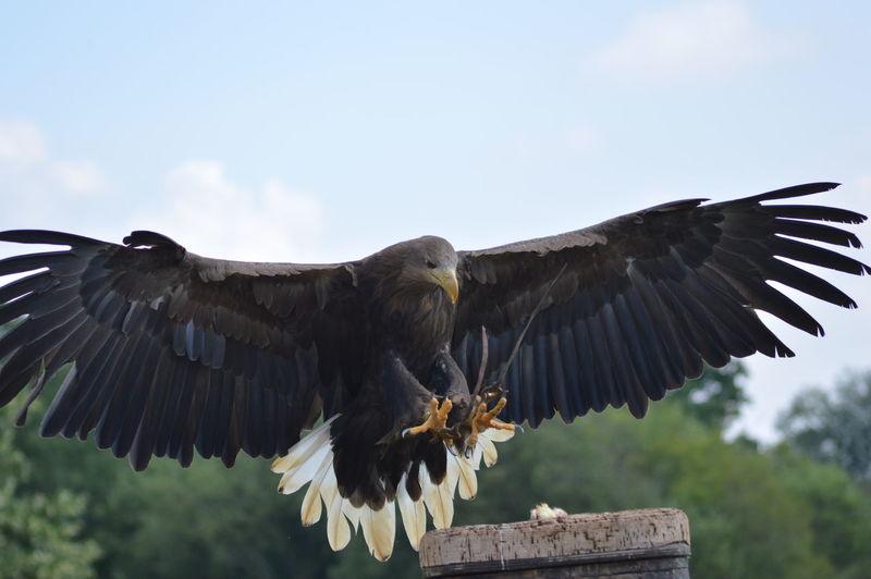 White-tailed eagle landing on chimney